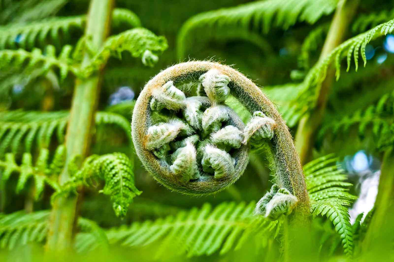 Unfurling new fern frond or koru. Image by Michael Gaida from Pixabay